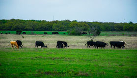 Texas Cattle sur un ranch ouvert au printemps Photographie stock