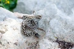 Texas Checkered Garter Snake royaltyfria bilder