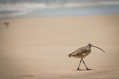 Texas Coast Bird Long Billed Curlew Royalty Free Stock Images