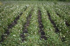Texas Cotton. Found this in Texas while out for a drive. I found it interesting royalty free stock images