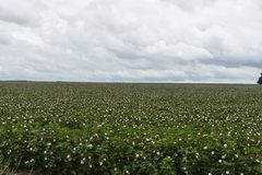 Texas Cotton. Found this in Texas while out for a drive. I found it interesting stock images