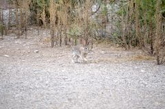 Texas Cottontail bunny caught in mid stride on gravel walkway royalty free stock images