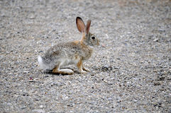 Texas Cottontail bunny paused on gravel walkway Royalty Free Stock Images