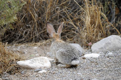Texas Cottontail bunny paused on gravel walkway stock photos