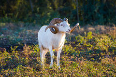 Texas Dall Sheep Ram stock afbeeldingen