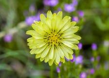 Texas Dandelion fotografia de stock royalty free