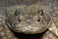 Texas Diamondback Rattlesnake Stock Photos