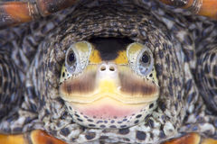 Texas Diamondback sumpsköldpadda, Malaclemyssumpsköldpaddalittoralis Arkivfoton