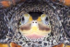 Texas Diamondback terrapin, Malaclemys terrapin littoralis. Is found in brackish waters around Texas Stock Photos