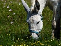 Texas Donkey Fotografia de Stock Royalty Free