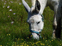 Texas Donkey. Eating grass Royalty Free Stock Photography
