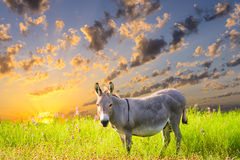 Texas Donkey at Sunrise Royalty Free Stock Image