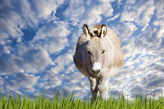 Texas Donkey sur Sunny Day Image stock