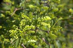 Texas Ebony Tree Leaves Closeup Royalty Free Stock Image