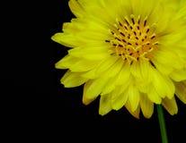 Texas False Dandelion Pyrrhopappus-multicaulis op zwarte achtergrond wordt geïsoleerd die stock foto