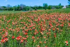 Texas Field full of Bright Orange Indian Paintbrush Stock Photos