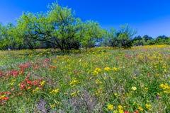 Texas Field Full de una variedad de Wildflowers hermosos Foto de archivo