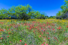 Texas Field Full dei Wildflowers luminosi in primavera Immagine Stock