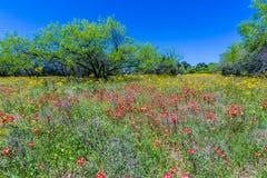 Texas Field Full dei Wildflowers luminosi in primavera immagine stock