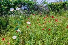 Texas Field of Wildflowers such as Indian Blanket Royalty Free Stock Images