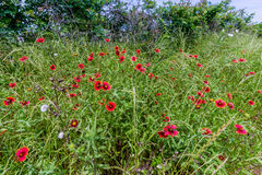 Texas Field of Wildflowers such as Indian Blanket Stock Photo