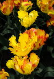 Texas Gold papegojatulpan, hybrida för Tulipa x, blommar Slutuo Royaltyfria Foton