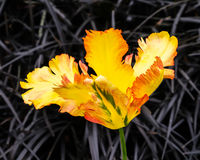 Texas Gold parrot tulip, Tulipa x hybrida, underplanted with Black Mondo grass, Ophiopogon plniscapus 'Nigrescens'. Close up Stock Photography