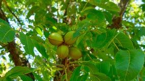 Texas Green Pecans på träd royaltyfria bilder