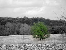 Texas Green Tree. A tree standing rather alone in the Texas scrub Royalty Free Stock Image