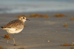 Texas Gulf Coast Birding. A small shore bird, photographed on Padre Island National Seashore in southern Texas stock images