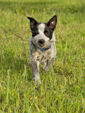 Texas Heeler puppy carrying a small stick Stock Photography