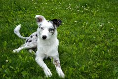 Texas Heeler Puppy laying In The Grass stock photo