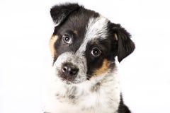 Texas Heeler Puppy mignon Photo libre de droits