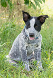 Texas Heeler puppy sitting in the shade of a tree Royalty Free Stock Images