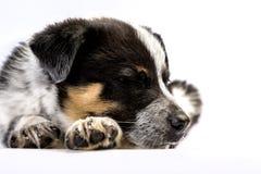 Texas Heeler Puppy Sleeping lindo imagenes de archivo