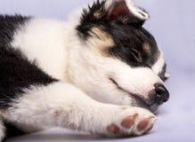 Texas Heeler Puppy Sleeping lindo imagen de archivo libre de regalías