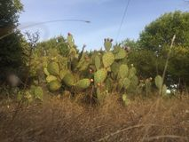 Texas Hill Country Cactus. Prickly pear cactus growing on a rural street Royalty Free Stock Images