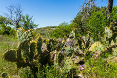 Texas Hill Country. Close up view of cactus along a nature trail in the Texas Hill Country Royalty Free Stock Image