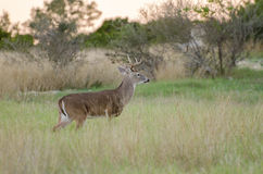 Texas Hill Country White tailed Deer Trophy Buck Royalty Free Stock Photos