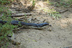 Texas Hognose Snake. On sandy hiking trail royalty free stock images