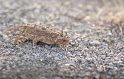 Texas Horned Frog. This Texas Horned Frog is preying upon some unsuspecting ants Royalty Free Stock Images