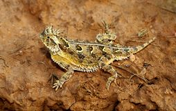 A Texas Horned Lizard Stock Photography