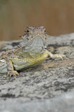 Texas Horned Lizard Royalty Free Stock Image