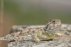 Texas Horned Lizard. A Texas horned lizard from Western Kansas royalty free stock image