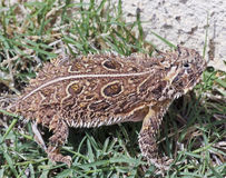 A Texas Horned Lizard in the Grass Royalty Free Stock Image