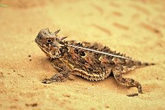 Texas Horned Lizard royalty free stock images