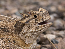 Texas horned lizard Stock Image