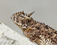 A Texas Horned Lizard on a Stucco Wall Royalty Free Stock Image