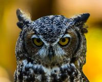 Texas Horned Owl image stock