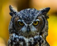 Texas Horned Owl Fotografering för Bildbyråer